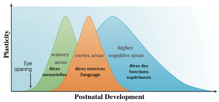 Plasticity and Postnatal Development Graph